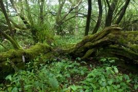 Saulaie non marécageuse à Salix aurita et Salix cinerea [copyright Wibail Lionel]