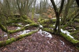 saulaie non marécageuse à Salix aurita et Salix cinerea