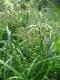 Scirpus sylvaticus [copyright Wibail Lionel]