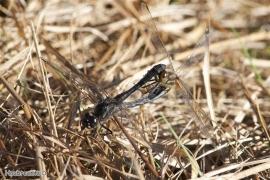 Sympétrum noir (Sympetrum danae) Accouplement. [copyright Godenne Viviane]