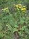 Senecio erucifolius