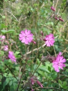 Silene dioica [copyright Wibail Lionel]
