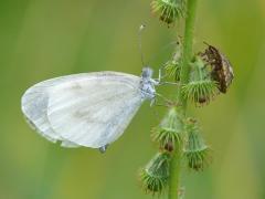 Piéride de la moutarde (Leptidea sinapis) [CC by Smits Quentin]