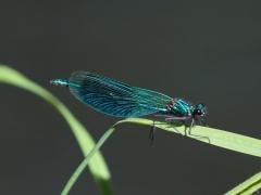 Caloptéryx éclatant (Calopteryx splendens) Mâle. [copyright Rouck Jean]