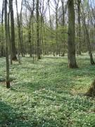 Stellario-Carpinetum typicum sec