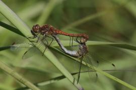 Sympétrum strié (Sympetrum striolatum) Mâle et femelle accouplement. [copyright Rouck Jean]