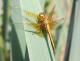 Sympétrum jaune d'or (Sympetrum flaveolum) Mâle immature. [copyright Nicolas Monique]