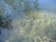 C1.25 - Tapis de charophytes des eaux mésotrophes