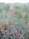 Thlaspi caerulescens subsp. calaminare [copyright]