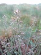 Thlaspi caerulescens subsp. calaminare