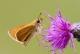 Hespérie de la houlque (Thymelicus sylvestris) [copyright Mentens Jeroen]