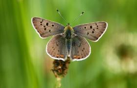 Cuivré fuligineux mâle (Lycaena tityrus) [CC by Bultot Jacques]