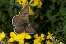 Cuivré fuligineux mâle (Lycaena tityrus) [copyright Delacre Jean]