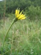 Tragopogon pratensis_2