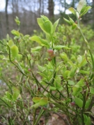 Vaccinium myrtillus [copyright Wibail Lionel]