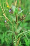 C3.11a - Végétations de petits hélophytes du bord des eaux courantes lentes