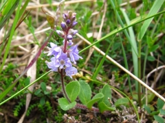 Veronica officinalis 2