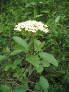 Viburnum lantana [copyright]