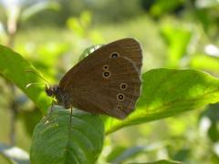 Tristan (Aphantopus hyperantus) [CC by Fichefet Violaine]