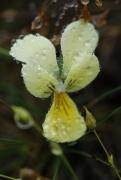 E1.B2c - Pelouses basiclines à [Viola calaminaria]