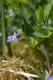 Viola canina.jpg