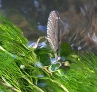 Caloptéryx vierge (Calopteryx virgo) Ponte. [copyright Ghilain Brigitte]