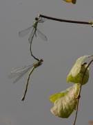 Leste vert (Lestes viridis) Mâle et femelle accouplement. [copyright Rouck Jean]